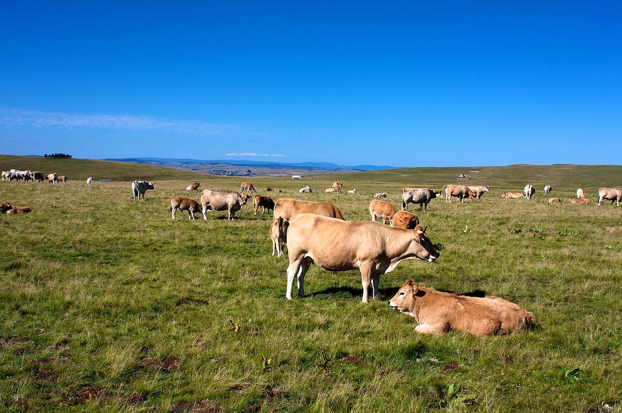 Vaches d'Aubrac